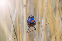 Bluethroat ,Luscinia svecica sits in the reeds Royalty Free Stock Images