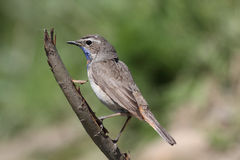 Bluethroat Royalty Free Stock Images