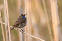 Bluethroat Royalty Free Stock Image