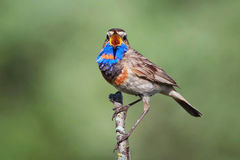 Bluethroat. The male Bluethroat is singing a beautiful song in search of females Royalty Free Stock Photos