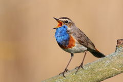 Bluethroat. Male singing in the reed Stock Photo