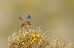 Bluethroat in the mountains of Gredos in Avila Royalty Free Stock Photography