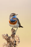 Bluethroat in the nature Royalty Free Stock Photo