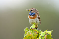 Bluethroat in the nature Royalty Free Stock Image