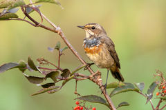 Bluethroat outdoors sits on a cane Royalty Free Stock Image