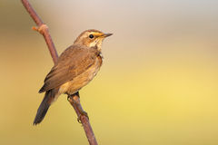 Bluethroat outdoors sits on a cane Royalty Free Stock Photo