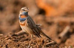 Bluethroat portrait. Male bluethroat bird portrait at its habitat in Chilika lake, Orissa, India Royalty Free Stock Photos