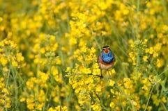 Bluethroat in a rape field. Bluethroat chirping in a rape field Stock Image