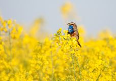 Bluethroat in a field. Bluethroat chirping in a field royalty free stock images
