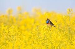 Bluethroat in a rape field. Bluethroat chirping in a rape field Royalty Free Stock Photo