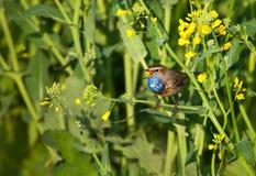 Bluethroat in a field. Bluethroat chirping in a flowering field royalty free stock photography