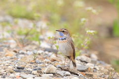Bluethroat robin Stock Image