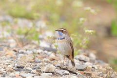 Bluethroat robin Stock Image