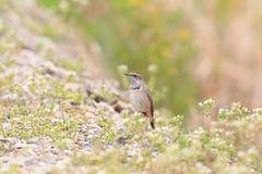 Bluethroat robin Royalty Free Stock Image