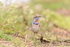 Bluethroat robin Stock Images
