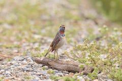 Bluethroat robin Royalty Free Stock Photo