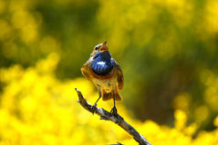 The Bluethroat singing Stock Photo