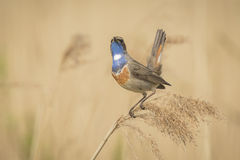 Bluethroat singing. A blue-throat bird (Luscinia svecica cyanecula) display to attract a female Stock Photo