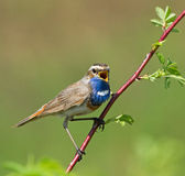 Bluethroat. Singing on the branch Royalty Free Stock Images