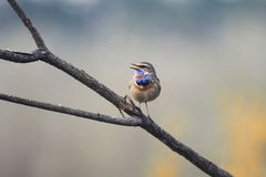 The Bluethroat singing on branch in spring Park Royalty Free Stock Image