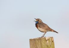 Bluethroat singing on a post stock image