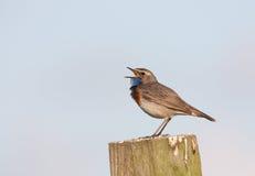Bluethroat singing on a post Stock Image