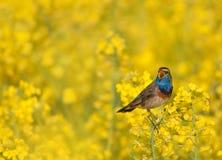 Bluethroat singing in a rape field. Bluethroat chirping in a rape field Royalty Free Stock Photo