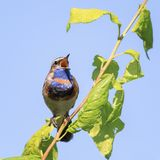 Bluethroat sings the song in the spring forest Royalty Free Stock Images