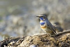 Bluethroat sits on the perch Stock Images