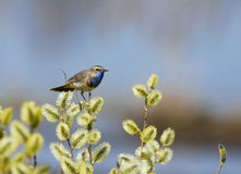 Bluethroat sits on a spring branch branch Stock Image