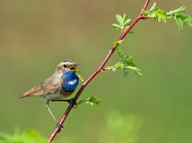 Bluethroat. Sitting on the branch Stock Images