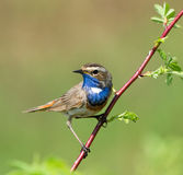 Bluethroat. Sitting on the branch Royalty Free Stock Photo