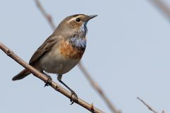 Bluethroat sitting on a  branch. Male bluethroat. Close-up of beautiful bluethroat. luscinia Svecica sitting on a  branch. Bluethroat colored bird sings the Stock Photo