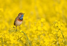 Bluethroat in a field. Bluethroat sitting in a field stock photos