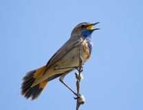 Bluethroat sitting on top of a branch and singing Stock Photo