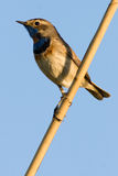 Bluethroat (svecica di Luscinia). Immagine Stock
