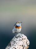 Bluethroat (svecica di Luscinia) Fotografie Stock Libere da Diritti