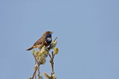 Bluethroat in top off tree. Bluethroat singing  at the top off a tree. I removed some branches for a better compo Royalty Free Stock Photography