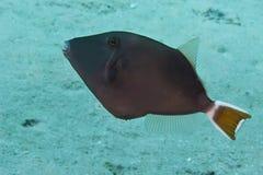 Bluethroat triggerfish. (sufflamen albicaudatus). Taken in Red Sea, Egypt stock image