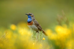 Bluethroat between the vegetation Royalty Free Stock Image