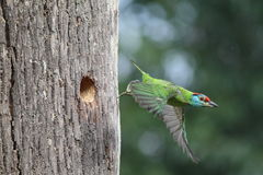 Bluethroated-Barbet Stockfoto