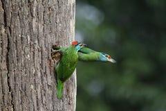Bluethroated-Barbet Lizenzfreie Stockfotos