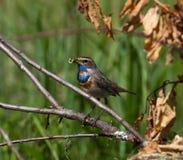 bluethroatlusciniasvecica royaltyfri fotografi