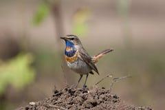 bluethroatlusciniasvecica Royaltyfri Bild