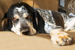 Bluetick Coonhound dog. Closeup of a bluetick coonhound hunting dog relaxing on a couch looking sad, tired, worn out, retired, exhausted, old, aged, comfortable Stock Photo