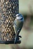Bluetit на фидере птицы Стоковые Фото