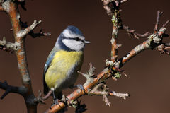 Bluetit Fotografia Stock