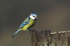 Bluetit Royalty Free Stock Photography
