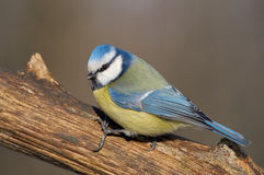 Bluetit Stock Photo