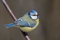 Bluetit Stock Fotografie